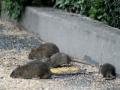 oh, rats #4